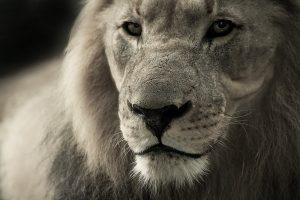 lespapouilles.fr lion